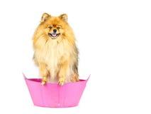 Pomeranian-Hund bereiten sich zum Nehmen eines Bades vor, das in der rosa Badewanne steht Lizenzfreies Stockfoto