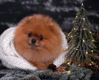 Pomeranian-Hund in den Weihnachtsdekorationen auf dunklem hölzernem Hintergrund Das Jahr des Hundes Hund des neuen Jahres Schöner Lizenzfreie Stockfotografie