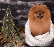 Pomeranian-Hund in den Weihnachtsdekorationen auf dunklem hölzernem Hintergrund Das Jahr des Hundes Hund des neuen Jahres Schöner Lizenzfreies Stockfoto