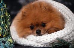 Pomeranian-Hund in den Weihnachtsdekorationen auf dunklem hölzernem Hintergrund Das Jahr des Hundes Hund des neuen Jahres Schöner Lizenzfreie Stockfotos