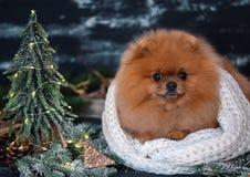 Pomeranian-Hund in den Weihnachtsdekorationen auf dunklem hölzernem Hintergrund Das Jahr des Hundes Hund des neuen Jahres Schöner Lizenzfreie Stockbilder