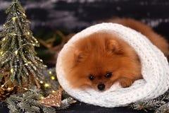 Pomeranian-Hund in den Weihnachtsdekorationen auf dunklem hölzernem Hintergrund Das Jahr des Hundes Hund des neuen Jahres Schöner Stockbilder