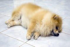 Pomeranian-Hund, der auf dem Boden schläft Lizenzfreies Stockbild