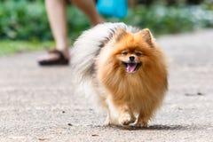 Pomeranian-Hund, der auf die Straße im Garten geht Lizenzfreies Stockfoto