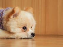 Pomeranian-Hund, der auf seinen Eigentümer wartet Stockfoto