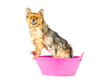 Pomeranian-Hund, der ein Bad steht in der rosa Badewanne lokalisiert nimmt Stockbilder