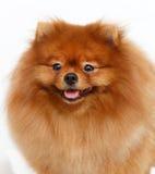 Pomeranian-Hund des weißen Hintergrundes Lizenzfreies Stockfoto