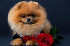 Pomeranian-Hund in einer Klage mit einer roten Rose auf dunklem Hintergrund Porträt eines Hundes in einem zurückhaltenden Stockfotos