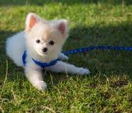 Pomeranian hund för gullig valp som lägger gräs Arkivbild
