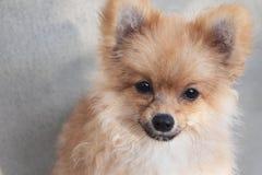 Pomeranian hund för valp Fotografering för Bildbyråer