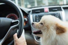 Pomeranian hund för valp i bil Arkivbild