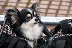 Pomeranian hund i handväska arkivbilder