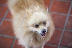 Pomeranian hund i mitt hem Royaltyfria Foton