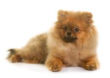 Pomeranian-Hund im Studio lizenzfreies stockbild
