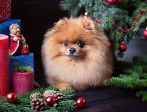 Pomeranian-Hund im Weihnachtshut mit Weihnachtsdekorationen auf dunklem hölzernem Hintergrund Das Jahr des Hundes Hund des neuen  Lizenzfreie Stockfotografie