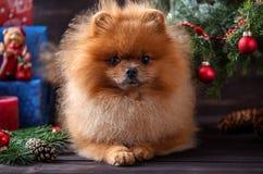 Pomeranian-Hund im Weihnachtshut mit Weihnachtsdekorationen auf dunklem hölzernem Hintergrund Das Jahr des Hundes Hund des neuen  Stockfotografie