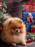 Pomeranian-Hund im Weihnachtshut mit Weihnachtsdekorationen auf dunklem hölzernem Hintergrund Das Jahr des Hundes Hund des neuen  Lizenzfreie Stockbilder