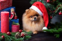 Pomeranian-Hund im Weihnachtshut mit Weihnachtsdekorationen auf dunklem hölzernem Hintergrund Das Jahr des Hundes Hund des neuen  Lizenzfreies Stockbild