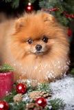 Pomeranian-Hund im Weihnachtshut mit Weihnachtsdekorationen auf dunklem hölzernem Hintergrund Das Jahr des Hundes Hund des neuen  Lizenzfreie Stockfotos