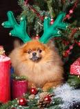 Pomeranian-Hund im Weihnachtshut mit Weihnachtsdekorationen auf dunklem hölzernem Hintergrund Das Jahr des Hundes Hund des neuen  Lizenzfreies Stockfoto