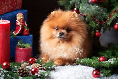 Pomeranian-Hund im Weihnachtshut mit Weihnachtsdekorationen auf dunklem hölzernem Hintergrund Das Jahr des Hundes Hund des neuen  Stockbild