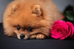 Pomeranian-Hund mit purpurroten Rosen auf dunklem Hintergrund Porträt eines Hundes in einem zurückhaltenden Hund mit Blumen Stockfotos