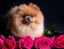 Pomeranian-Hund mit purpurroten Rosen auf dunklem Hintergrund Porträt eines Hundes in einem zurückhaltenden Hund mit Blumen Lizenzfreie Stockfotografie