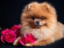 Pomeranian-Hund mit purpurroten Rosen auf dunklem Hintergrund Porträt eines Hundes in einem zurückhaltenden Hund mit Blumen Lizenzfreies Stockbild
