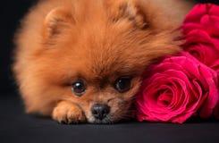Pomeranian-Hund mit purpurroten Rosen auf dunklem Hintergrund Porträt eines Hundes in einem zurückhaltenden Hund mit Blumen Lizenzfreie Stockbilder