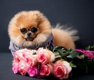 Pomeranian-Hund mit purpurroten Rosen auf dunklem Hintergrund Porträt eines Hundes in einem zurückhaltenden Hund mit Blumen Lizenzfreie Stockfotos