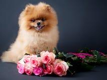 Pomeranian-Hund mit purpurroten Rosen auf dunklem Hintergrund Porträt eines Hundes in einem zurückhaltenden Hund mit Blumen Stockbilder