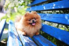Pomeranian hund på en blå bänk lycklig hund Härlig hund i en parkera Förtjusande Pomeranian Arkivbild