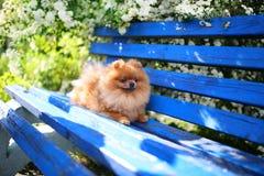 Pomeranian hund på en blå bänk lycklig hund Härlig hund i en parkera Förtjusande Pomeranian Royaltyfri Fotografi