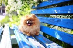 Pomeranian hund på en blå bänk lycklig hund Härlig hund i en parkera Förtjusande Pomeranian Arkivfoton