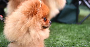 Pomeranian hund på en gå arkivfilmer