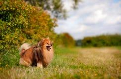 Pomeranian hund på fältet Royaltyfria Bilder
