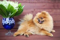 Pomeranian hund på träbakgrund Härlig hund inomhus lycklig hund Hund med blommor Royaltyfria Bilder