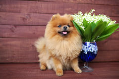 Pomeranian hund på träbakgrund Härlig hund inomhus lycklig hund Hund med blommor Royaltyfri Fotografi