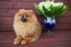 Pomeranian hund på träbakgrund Härlig hund inomhus lycklig hund Hund med blommor Arkivfoton