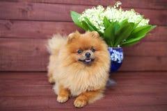Pomeranian hund på träbakgrund Härlig hund inomhus lycklig hund Hund med blommor Fotografering för Bildbyråer