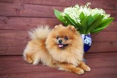 Pomeranian hund på träbakgrund Härlig hund inomhus lycklig hund Hund med blommor Arkivfoto