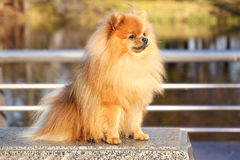 pomeranian hund Pomeranian hund för gullig höst Hund i park allvarlig hund allvarlig hund Arkivbilder