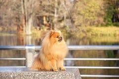 pomeranian hund Pomeranian hund för gullig höst Hund i park allvarlig hund allvarlig hund Royaltyfri Foto