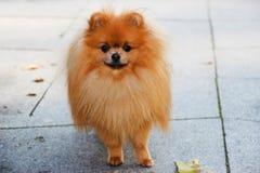 pomeranian hund Pomeranian hund för gullig höst Hund i park allvarlig hund allvarlig hund Royaltyfria Bilder