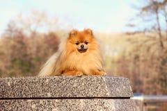 pomeranian hund Pomeranian hund för gullig höst Hund i park allvarlig hund allvarlig hund Arkivfoto