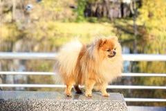 pomeranian hund Pomeranian hund för gullig höst Hund i park allvarlig hund allvarlig hund Fotografering för Bildbyråer