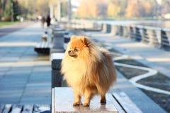 pomeranian hund Pomeranian hund för gullig höst Hund i park allvarlig hund allvarlig hund Arkivfoton