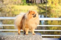 pomeranian hund Pomeranian hund för gullig höst Hund i park allvarlig hund allvarlig hund Royaltyfri Fotografi