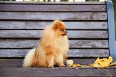 pomeranian hund Pomeranian hund för gullig höst Hund i park allvarlig hund allvarlig hund Royaltyfria Foton