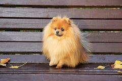 pomeranian hund Pomeranian hund för gullig höst Hund i park allvarlig hund allvarlig hund Royaltyfri Bild